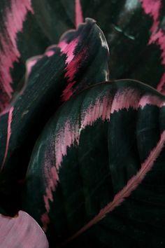 MY ATTIC voor vtwonen / plant met gekleurde bladeren / calathea / paars  / purple    Fotografie: Marij Hessel