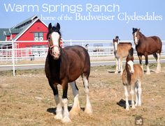Visiting Warm Springs Ranch – Home of the Budweiser Clydesdales in Boonsville, MO Baby Horses, Draft Horses, Breyer Horses, Barrel Racing Saddles, Barrel Racing Horses, Clydesdale Horses Budweiser, Warm Springs Ranch, Horse Tack Rooms, Western Pleasure Horses
