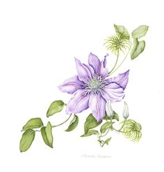 Botanical Watercolor Painting ~ Digital print of a botanical illustration in watercolors of a clematis flower is part of Clematis flower This image is a watercolor botanical illustration of a Clema - Botanical Drawings, Botanical Prints, Art Floral, Watercolor Flowers, Watercolor Paintings, Watercolors, Clematis Flower, Illustration Blume, Floral Illustrations