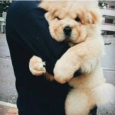 Best Images and Ideas about Chow Chow, The Oldest Dog Breed - ChowChow - Puppies Cute Baby Animals, Animals And Pets, Funny Animals, Cute Puppies, Cute Dogs, Dogs And Puppies, Doggies, Perros Chow Chow, Chow Chow Dogs