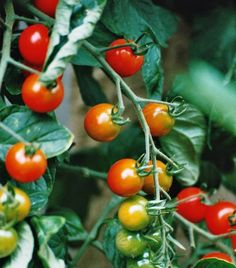 Como cuidar dos tomates. São saudáveis, deliciosos e podem ser cozidos de muitas formas diferentes. Quer desfrutar do sabor de seus próprios tomates cultivados em casa? As hortas ecológicas em jardins e terraços da nossa casa...