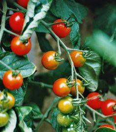 Como cuidar dos tomates