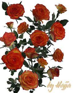 14 Roses Stock by aswad-hajja.deviantart.com