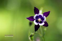 Violet columbine by LEE INHWAN via 500px