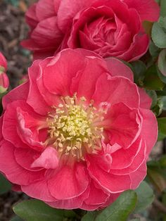 Chaenomeles Double Take speciosa Pink Storm grows 3-4 ft tall and blooms early to late spring in zones 5-9