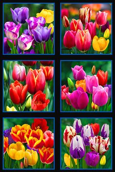 """Rainbow Tulips - Bright Blooms - 24"""" x 44"""" PANEL - DIGITAL PRINT - Quilt Fabrics from www.eQuilter.com"""
