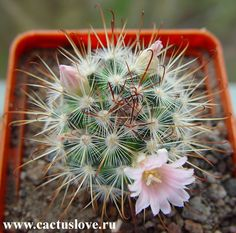 Mammillaria cowperae cactus Succulent Terrarium, Cacti And Succulents, Planting Succulents, Cactus Cactus, Cactus Flower, Xeriscaping, Greenery, Herbs, Textiles