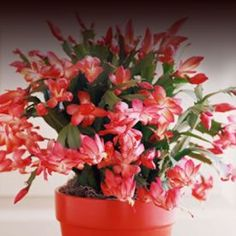 Here's how to care for the most popular Christmas plants and Christmas flowers, whether a Christmas tree, a Christmas cactus, or the traditional red poinsettia flower. Easy House Plants, Garden Plants, Indoor Plants, Dorm Plants, Potted Plants, Christmas Cactus Care, Christmas Plants, Cactus Flower, Flower Pots