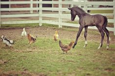 release-the-reins:  OMG that chicken hopping.