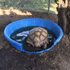 Kiddie pool tortoise soaking tub idea.