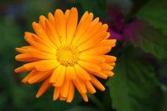 Měsíček lékařský je známá a pro své léčivé účinky vysoce oceňovaná bylina ve Francii i mnoha jiných zemích světa. U nás je měsíček pěstován na zahradách, ale roste i divoce. Jeho léčivé účinky jsou široké a používá se jak vnitřně, tak zevně. Plants, Planters, Plant, Planting