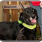 Check out Gennie (Genevieve), an adoptable Flat-Coated Retriever on Adopt-a-Pet.com.