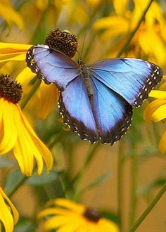 Morpho Butterfly by Rick Bures