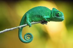 Baby yemen chameleon by Thomas Will