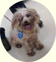 ADOPTED! (5/21/2015)~ #A432915 *** 8 Year Old SENIOR ALERT!!! *** ‒ I am a Male, White Poodle - Standard mix. The shelter thinks I am about 8 years old. I have been at the shelter since May 15, 2015. Harris County Public Health and Environmental Services Telephone ‒ (281) 999-3191 612 Canino Road Houston, TX https://www.facebook.com/OPCA.Shelter.Network.Alliance/photos/pb.481296865284684.-2207520000.1432052929./822274031186964/?type=3&theater