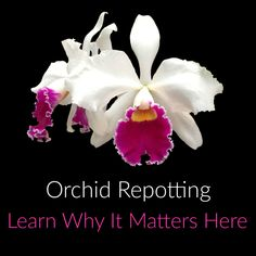 When and why should you repot your orchid? Find out here!
