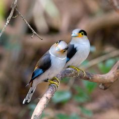 ~ A pair of Silver-breasted Broadbills ~