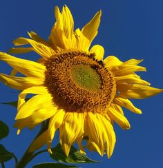 Sunflower dark blue sky Sunflowers, Dark Blue, Sky, Plants, Heaven, Deep Blue, Dark Teal, Flora, Plant