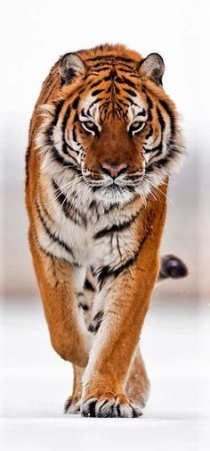 Amur Tiger, by suhaderbent                                                                                                                                                                                                                                                                                                                                                                                                                                                                  The Beauty of…