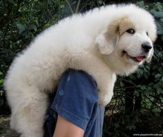 Pyrenean Mountain Dog / Great Pyrenees puppy! MY POLAR WAS PURE WHITE AND THAT SIZE AROUND 3 OR 4 MONTHS OLD