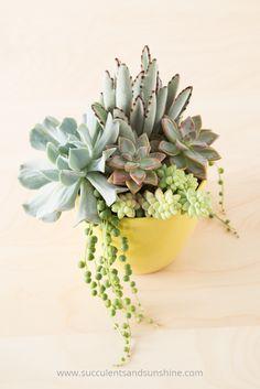 Try using the thriller, filler, spiller recipe to make a great succulent arrangement
