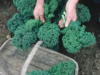 Discover why kale will make a bountiful addition to your garden area with this guide from HGTV Gardens.