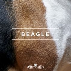 #Dog-Inspired #Design: We think the best, most #beautiful #coats belong to our four-legged family members. #Beagle
