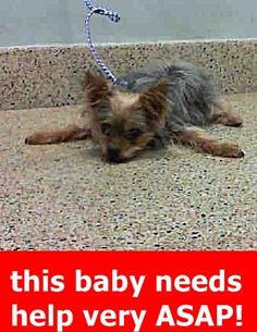 RESCUED by  Dachshund Rescue South Florida --- MARKO #A1861140  (A1861140) I am a male gray and tan Yorkshire Terrier.  The shelter staff think I am about 15 years old and I weigh 11 pounds.  I was found as a stray and I may be available for adoption on 03/29/2017. —: Miami Dade Animal Services Pet Adoption and Protection Center.  https://www.facebook.com/urgentdogsofmiami/photos/a.474760019225073.115405.191859757515102/1503574069676991/?type=3&theater