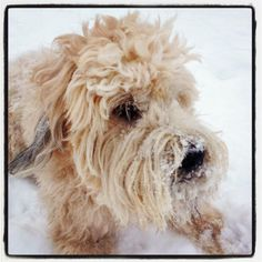 My dog Duncan, a wheaten terrier, playing in the snow with his cuteness enhanced via instagram