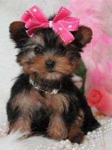 cute teacup yorkie puppie