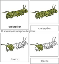 Caterpillar Nomenclature Cards - 13 Parts of the Caterpillar in 3-Part Cards, includes Black-Line Master.
