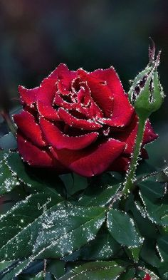 Fashion,Beauty,Landscape,Home Designe,Sexy Girls. Beautiful Flowers Wallpapers, Beautiful Rose Flowers, Beautiful Gif, Amazing Flowers, Rose Images, Rose Pictures, Flower Images, Rosas Gif, Beau Gif