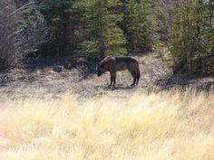 Wolf near Whitehorse, Yukon Territory