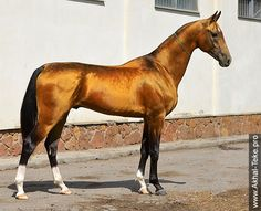 Akhal-teke horses for sale - Agul(Mikhman - Gagra-J)                                                                                                                                                                                 Mehr