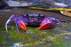 Purple Power! New Purple Crab Species Discovered in the Philippines : The Featured Creature