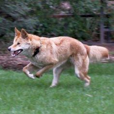 Watch out - dingoes on the loose!  For the first time in Healesville Sanctuary's 79 year history, the Dingoes are leaving their exhibit. See how fast they can run and how good they are at hunting.  At Healesville Sanctuary, there are predators lurking around every corner these school holidays - which one will you meet?