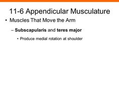 11-6 Appendicular Musculature Muscles That Move the Arm –Subscapularis and teres major Produce medial rotation at shoulder.