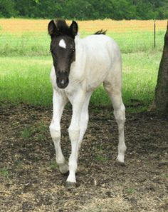Faith's Easter Promise  Spotted Tennessee Walker