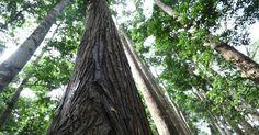 Tous les ans près de 300 000 hectares de forêts disparaissent, notamment à cause de l'essor du cacao dont le pays est le premier producteur mondial.
