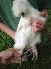 Clipping Silkie Nails