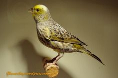 Yellow Lizard Canary