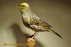 Yellow Lizard Canary