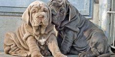 Top 5 giống chó mặt xệ nổi tiếng trên thế giới