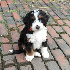 Bernedoodle i sooooooo want 1 of these Cute Puppies, Cute Dogs, Dogs And Puppies, Doggies, Teacup Puppies, Animals And Pets, Baby Animals, Cute Animals, Beautiful Dogs