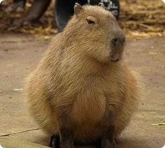 capybara!  I want one..they are so ugly they are cute!!