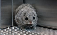 Fluffy flying squirrel made my day jesus chirst, those big black eyes are staring right through me It looks like hes stuck in an elevator and terrified. So you study in Lappeenranta Yeps Looks . Flying Squirrel, Kawaii Cute, Big Black, Mammals, Creatures, Elevator, Squirrels, Finland, University