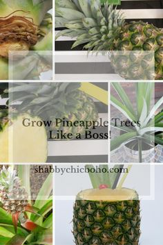 Grow Pineapple Trees, Like a Boss (indoors or out)
