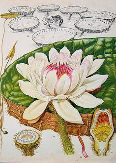 Vintage waterlily illustration