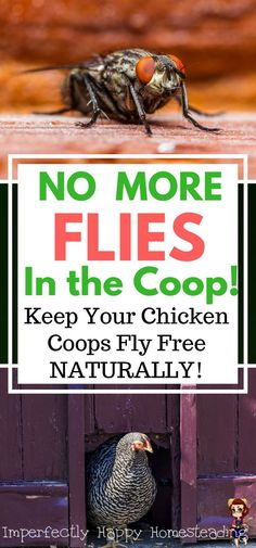 No More Flies in the Coop! Keep your chicken coops fly free naturally. Healthy backyard chickens are happy hens!