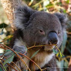 Koala - Kangaroo Island, Australia by My Planet Experience, via Flickr